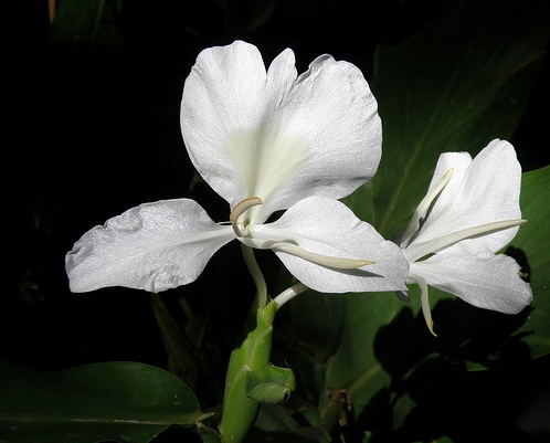 The Butterfly, national flower of Cuba